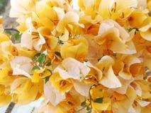 黄色bouganvillea 库存图片