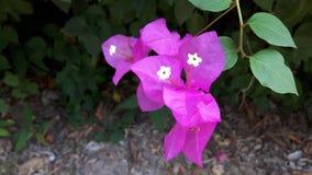 紫色bougaville花特写镜头  库存照片