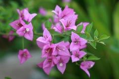 紫色Bougaville 图库摄影