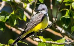 黄色Breasted鸣鸟 库存照片