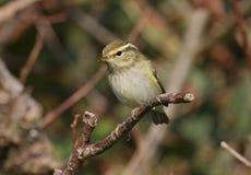 黄色browed鸣鸟 图库摄影