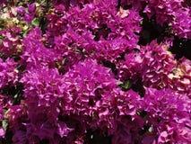 紫色Bugambilia 免版税库存图片