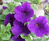 紫色Calibrachoa花 免版税库存图片