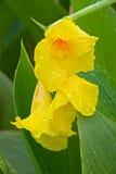 黄色Canna和雨 库存照片