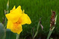 黄色canna露水 免版税图库摄影