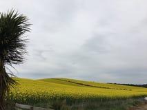 黄色canola的域 库存照片
