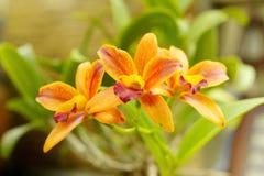 黄色Cattleya兰花有棕色墙壁背景 免版税图库摄影