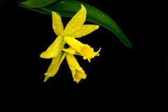 黄色Cattleya兰花 免版税库存照片