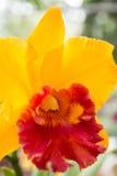 黄色Cattleya兰花 库存照片