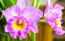紫色cattleya在春天开花绽放 免版税库存照片