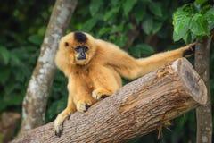 黄色cheeked长臂猿女性, Nomascus gabriellae 向量例证