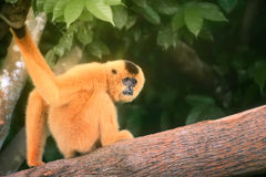 黄色cheeked长臂猿女性, Nomascus gabriellae 库存图片