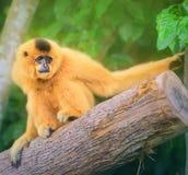 黄色cheeked长臂猿女性, Nomascus gabriellae 库存例证