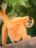 黄色cheeked长臂猿女性, Nomascus gabriellae 皇族释放例证