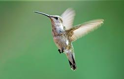 黑色chinned蜂鸟 库存图片