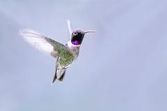 黑色chinned蜂鸟 免版税图库摄影