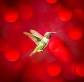 黑色chinned蜂鸟 免版税库存图片