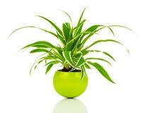 绿色Chlorophytum植物 免版税库存照片