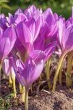 紫色colchinium在花圃的秋天开花 库存照片