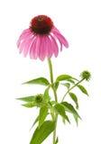 紫色Coneflower 免版税库存照片