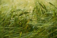 绿色cropfield 免版税库存图片