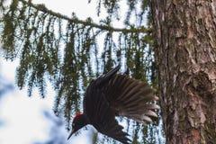 黑色dryocopus martius啄木鸟 免版税库存图片