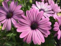 紫色feverfew花背景 免版税库存图片