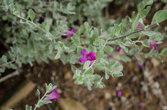 紫色Flowar 免版税库存图片