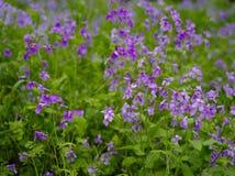 紫色flower2 免版税库存图片