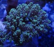 绿色Frogspawn珊瑚 免版税库存图片