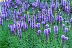 紫色Gayfeather花 免版税库存照片