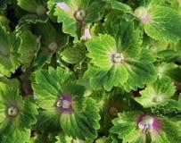 绿色hidrangea 免版税库存照片