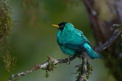 绿色Honeycreeper在哥斯达黎加 图库摄影