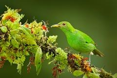绿色Honeycreeper, Chlorophanes spiza,异乎寻常的热带绿沸铜绿色和蓝色鸟形式哥斯达黎加的女性 从回归线的唐纳雀 免版税库存图片