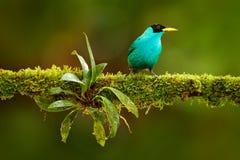 绿色Honeycreeper, Chlorophanes spiza,异乎寻常的热带绿沸铜绿色和蓝色鸟形式哥斯达黎加 从热带森林C的唐纳雀 图库摄影