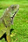 绿色IguanaIguana鬣鳞蜥 图库摄影