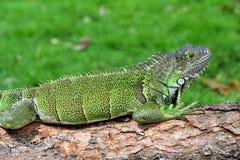 绿色IguanaIguana鬣鳞蜥 免版税图库摄影