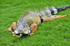 绿色IguanaIguana鬣鳞蜥 免版税库存照片