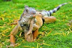 绿色IguanaIguana鬣鳞蜥 库存照片