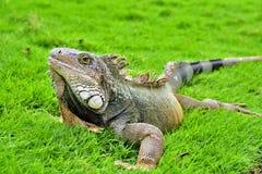 绿色IguanaIguana鬣鳞蜥 库存图片