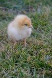 黄色ISA褐色小鸡 免版税库存照片