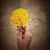 黄色Ixora花在手中妇女 库存图片