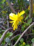 黄色Jessamine打开春天! 库存图片