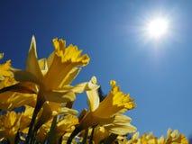 黄色Jonquils在一个春天早晨在阳光下 库存照片