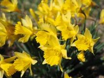 黄色Jonquils在一个春天早晨在阳光下 免版税库存照片