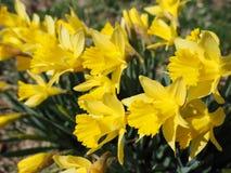 黄色Jonquils在一个春天早晨在阳光下 免版税库存图片