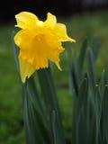 黄色Jonquils在一个春天早晨在阳光下 库存图片