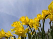 黄色Jonquils在一个春天早晨在阳光下 图库摄影