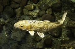 黄色Koi鱼 库存图片