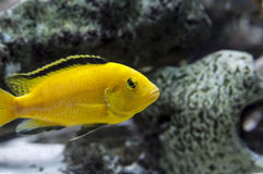 黄色Labidochromis非洲人丽鱼科鱼 免版税库存图片